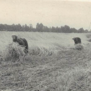Żniwa 1960 r.
